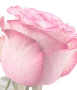 Розы Эквадор (Крупный бутон)